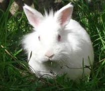 lapin blanc