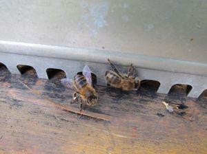 abeilles gibylili